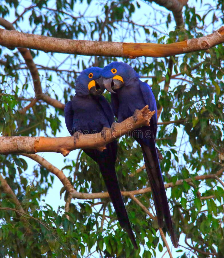 Two Hyacinth Macaws on a Branch royalty free stock photo