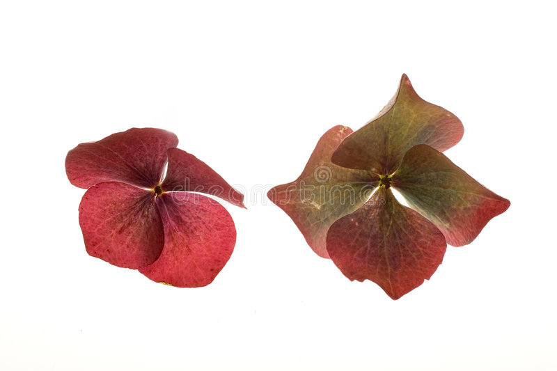 Two Hydrangea Blossoms on White stock photography