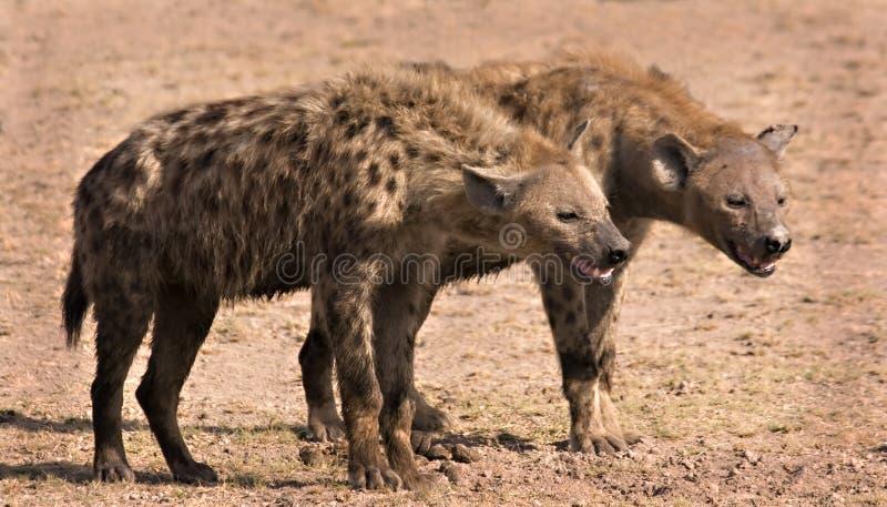 Two hyenas stock image