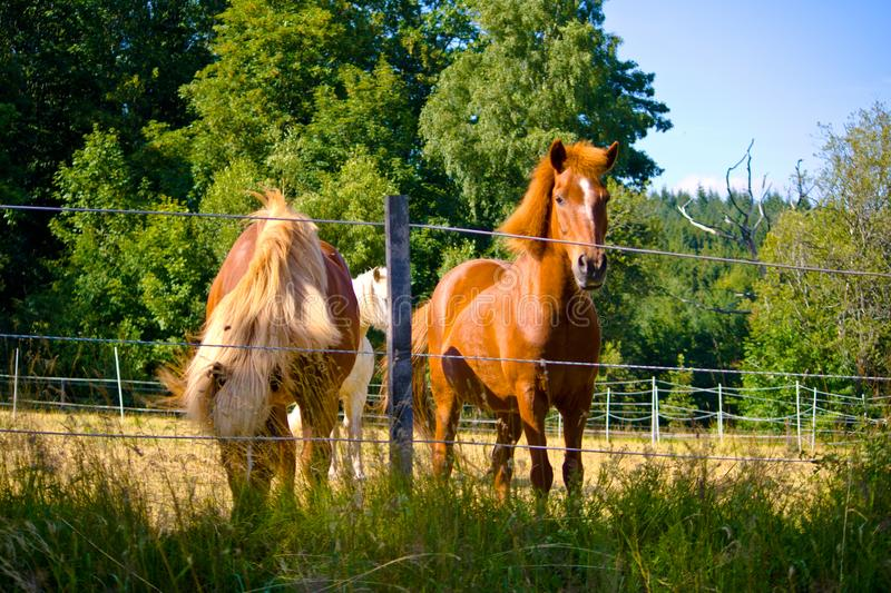 Two Iceland horses on a pasture in Bavaria, Germany royalty free stock photo