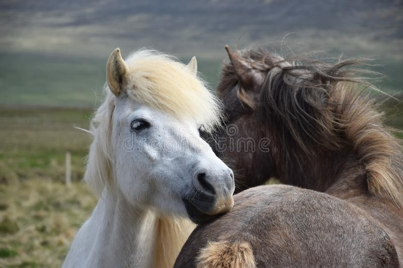 Two Icelandic horses, grooming each other. stock photography
