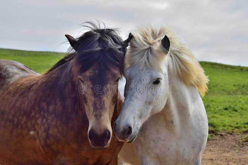 Two Icelandic horses put their heads in friendship together. One is white and the other dappled brown stock photography