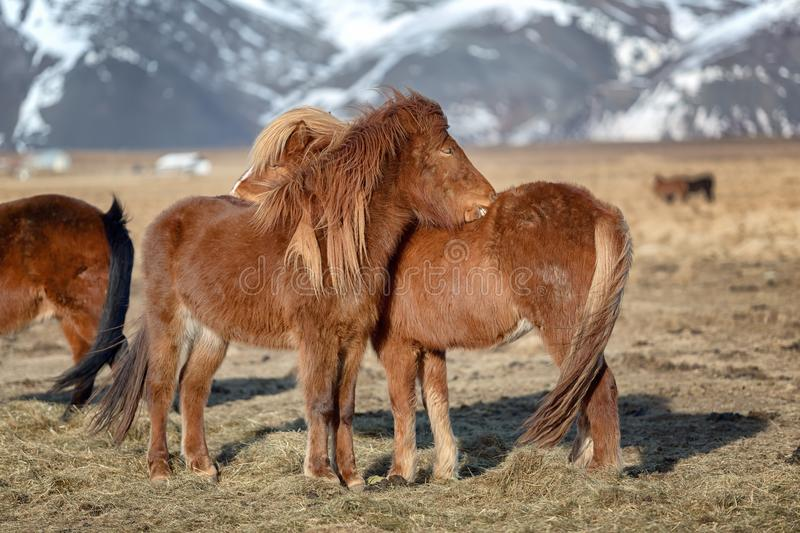 Two Icelandic horses royalty free stock photography