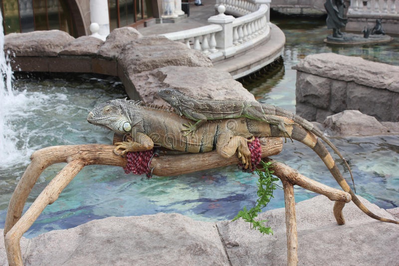 Download Two Iguanas On The Background Of The Water Basin Stock Photo - Image: 25506706