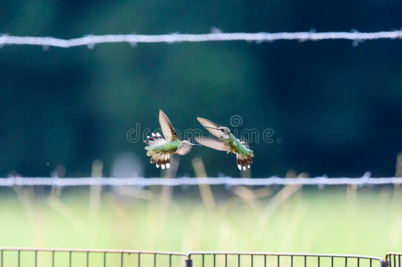 Two immature male Ruby-throated hummingbirds fight for territory stock photos