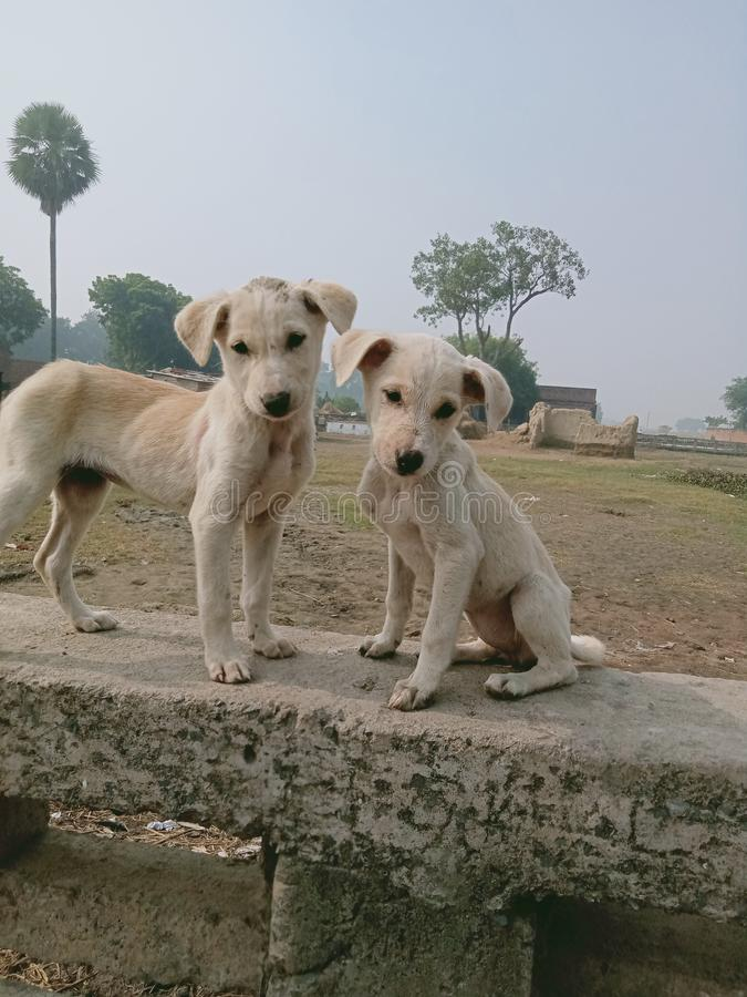 Two Indian dog these are another brother royalty free stock photography