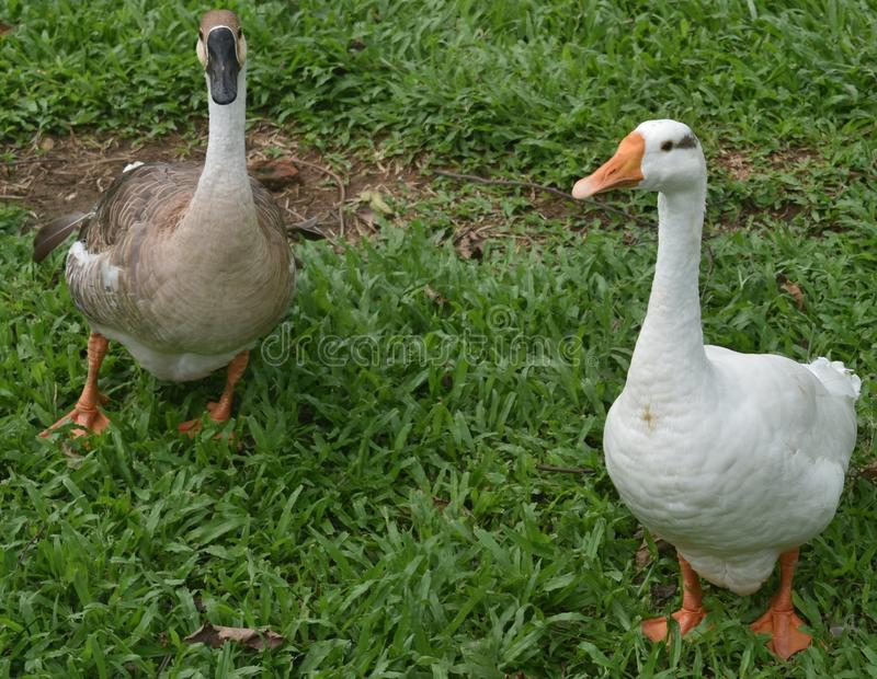 two Indian grey and white ducks playing in garden royalty free stock photos
