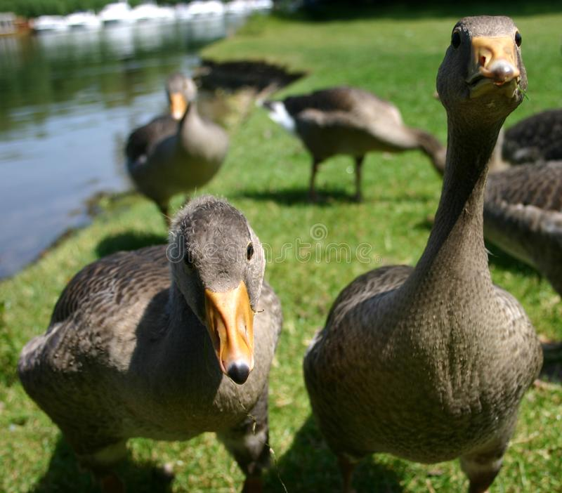 Two Inquisitive Young Goslings Stock Photos