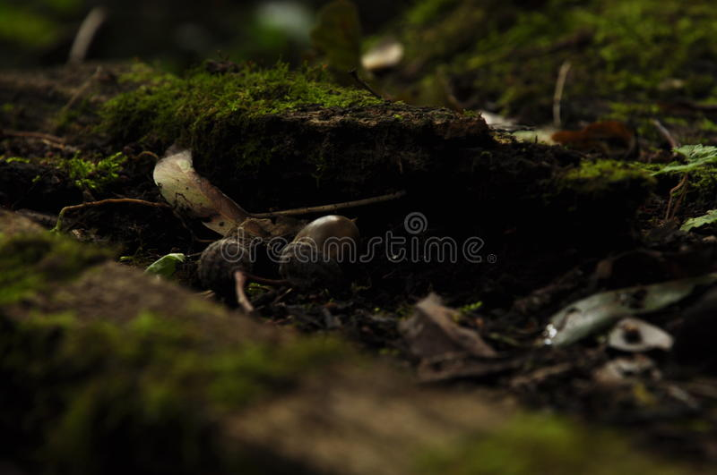 Two inseparable acorn. Two acorn lying on the old tree brunch stock photo