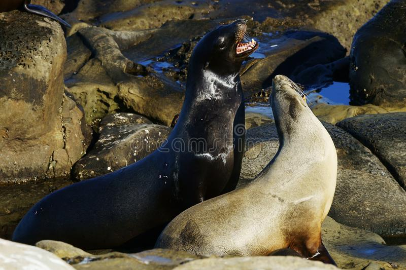 Two interacting sea lions on the seashore stock photo