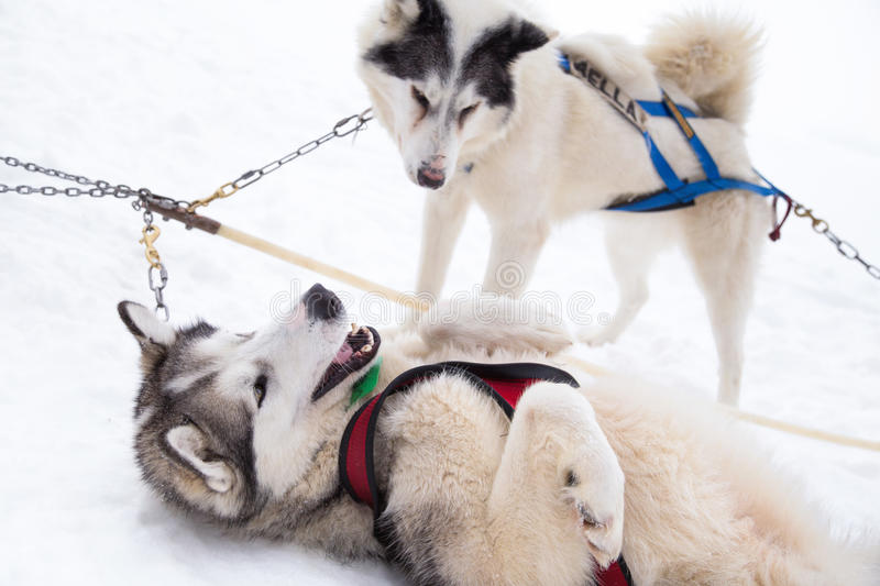 Two Inuit Sled Dogs Playing in Snow for Dogsledding in Minnesota. Two Inuit sled dogs in harnesses playing in the snow of Ely, Minnesota preparing to haul dog royalty free stock images