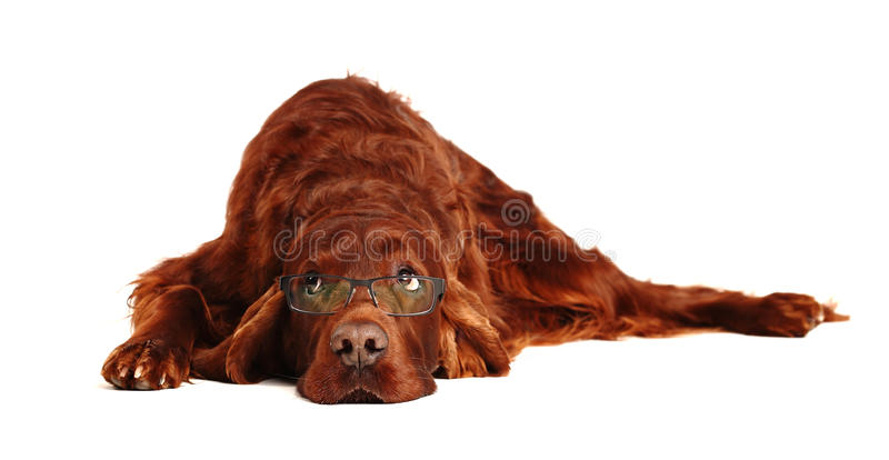Irish Red Setter dog in glasses. Two Irish Red Setter on the white background royalty free stock photos