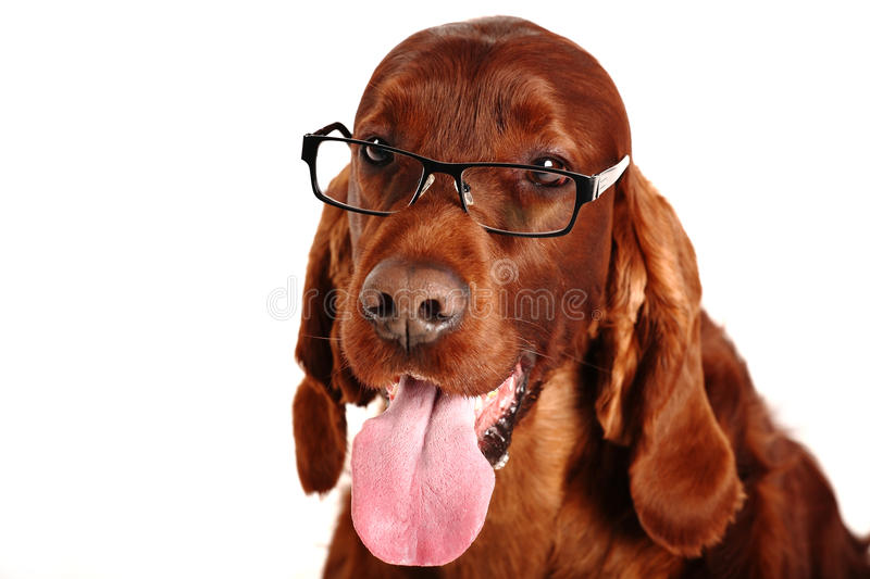 Irish Red Setter dog in glasses. Two Irish Red Setter on the white background stock image