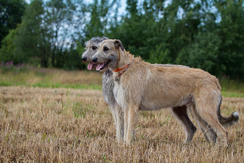 Two Irish Wolfhounds Stock Image