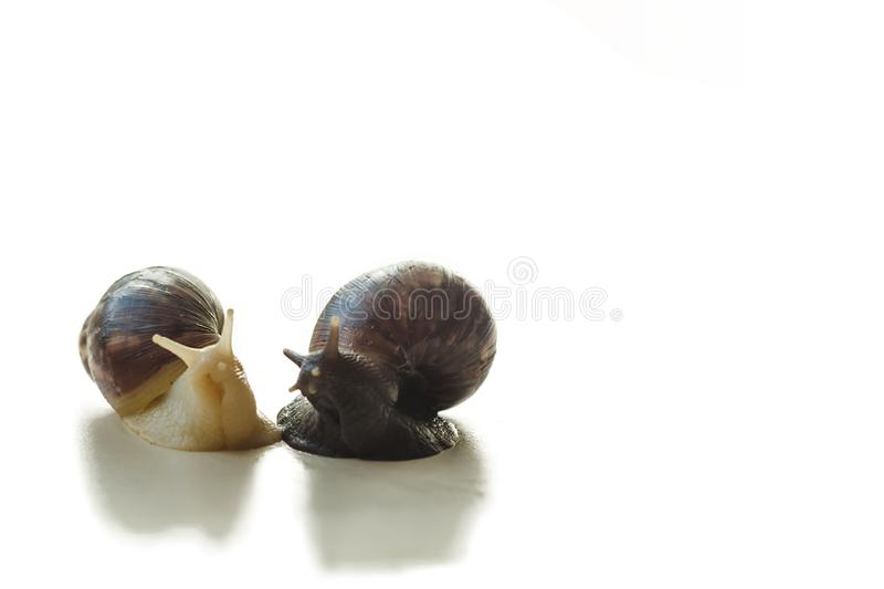 Two isolated brown and white Achatina with a spiral shell crawling on the light table on a sunny day with copy space. Extreme royalty free stock image