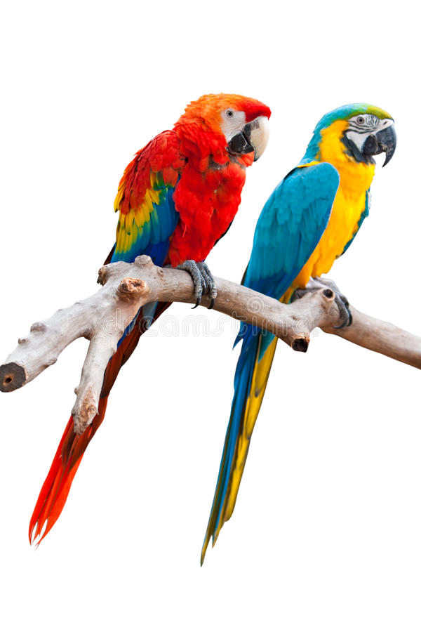 TWO ISOLATED PARROT. (one Ara Macao and one Ara Ararauna) stand on a trunk with white background