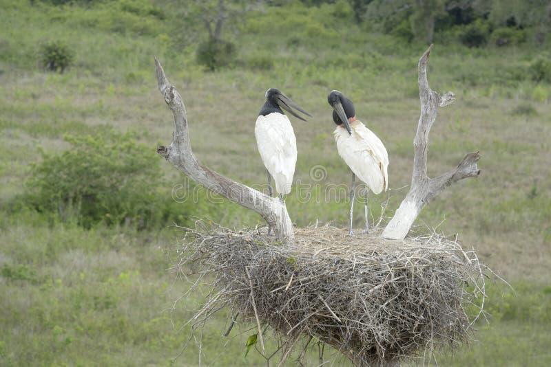 Two jabiru stork on nest. Two jabiru stork Jabiru mycteria standing in nest, Pantanal, Brazil stock photo