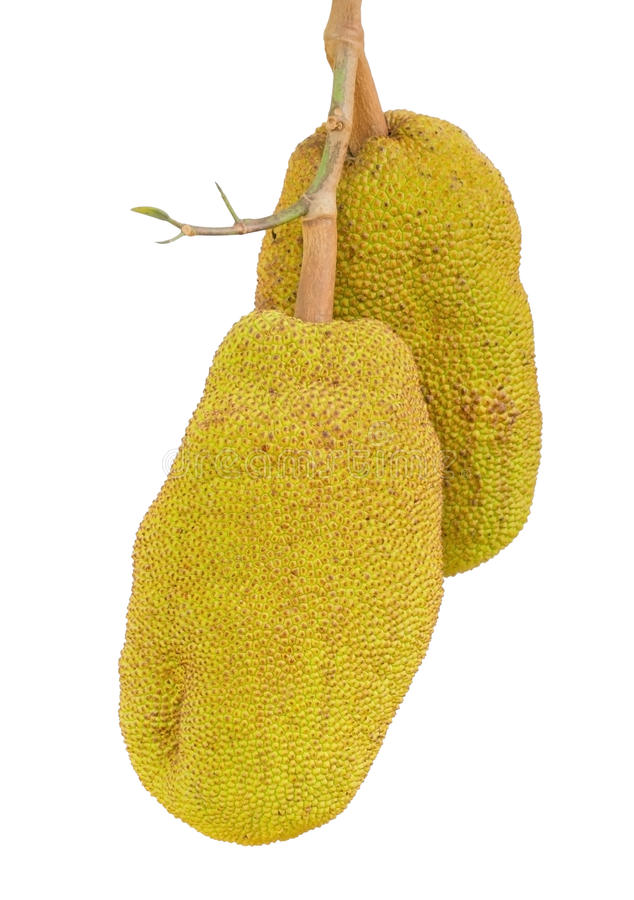 Download Two jack fruit. stock photo. Image of fresh, food, branch - 27470908