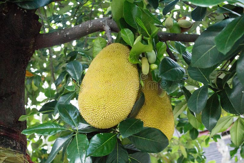 Two jack fruits in the jack tree - Thailand stock image
