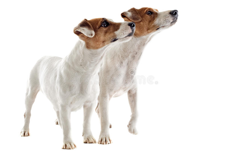 Two Jack Russel Terrier Royalty Free Stock Photos
