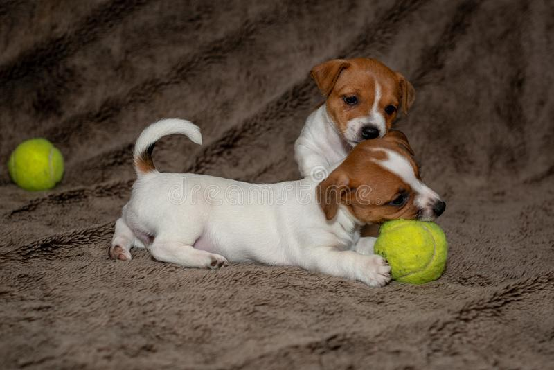 Two Jack Russell puppies play with each other for brown blankets.  royalty free stock image