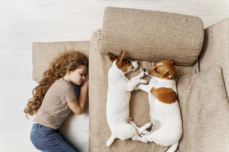Two Jack Russell are sleeping on the bed, and the owner of the girl is sleeping on the floor royalty free stock images