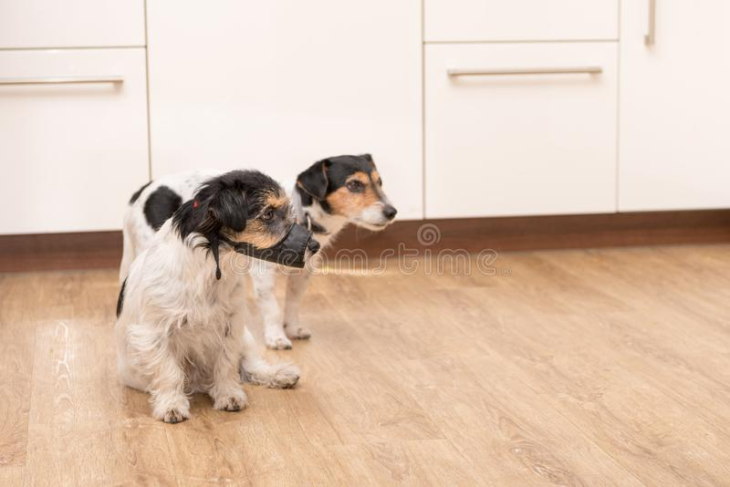 Two Jack Russell Terriers doggies side by side in the apartment stock photo