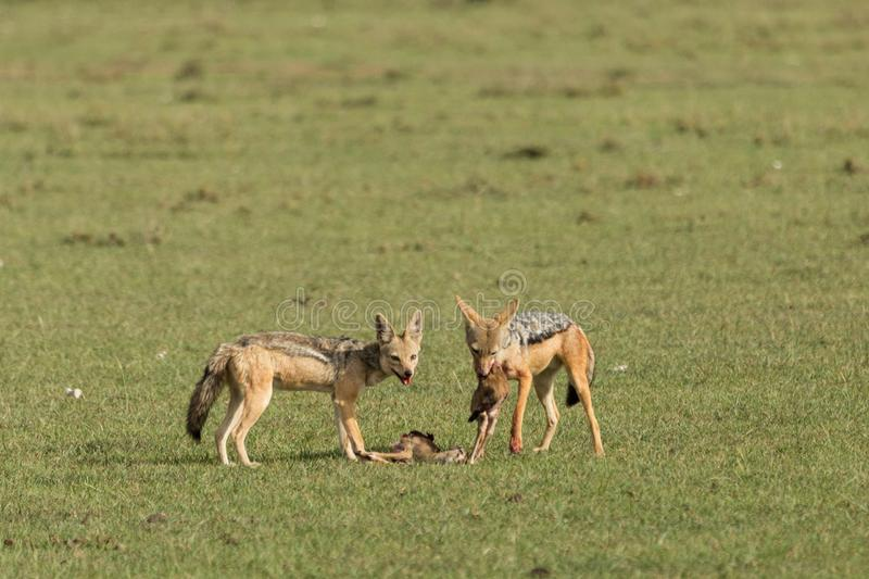 Two jackals devouring their kill. On the grasslands of the Maasai Mara, Kenya royalty free stock images