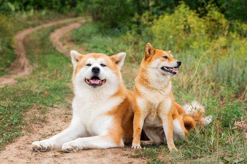 Two Japanese dogs: Akita inu and Shiba inu. Outdoor, cute, animal, canine, friend, pet, exterior, breeds, domestic, exhibition, hound, show, standard royalty free stock photos