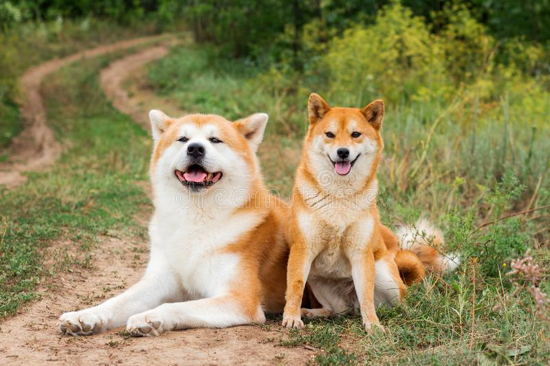 Two Japanese dogs: Akita inu and Shiba inu. Outdoor, cute, animal, canine, friend, pet, exterior, breeds, domestic, exhibition, hound, show, standard stock photo