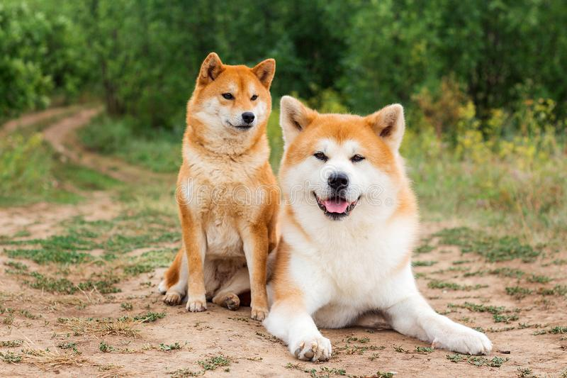 Two Japanese dogs: Akita inu and Shiba inu. Outdoor, cute, animal, canine, friend, pet, exterior, breeds, domestic, exhibition, hound, show, standard stock image