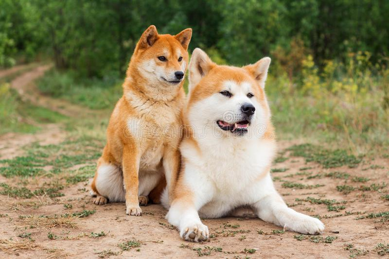 Two Japanese dogs: Akita inu and Shiba inu. Outdoor, cute, animal, canine, friend, pet, exterior, breeds, domestic, exhibition, hound, show, standard stock photography
