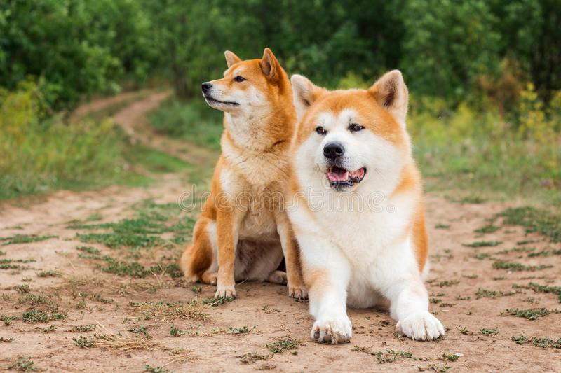 Two Japanese dogs: Akita inu and Shiba inu. Outdoor, cute, animal, canine, friend, pet, exterior, breeds, domestic, exhibition, hound, show, standard royalty free stock photography