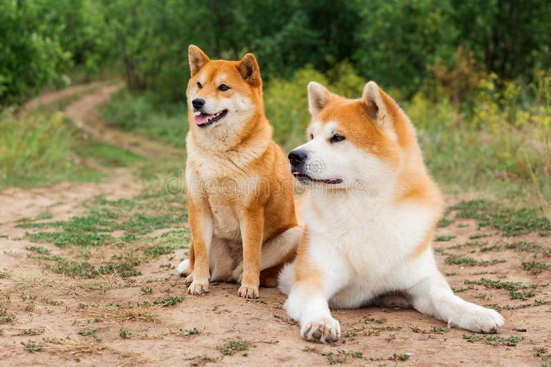 Two Japanese dogs: Akita inu and Shiba inu. Outdoor, cute, animal, canine, friend, pet, exterior, breeds, domestic, exhibition, hound, show, standard stock images