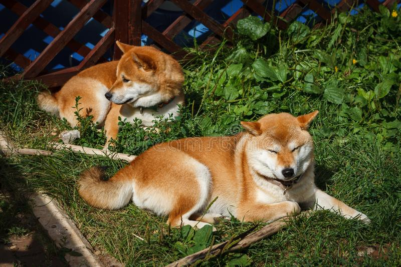 Two Japanese dogs of Shiba Inu breed lying on the green grass on a sunny summer day. Japanese Small Size Dogs Shiba Ken rest on gr. Ass stock photo
