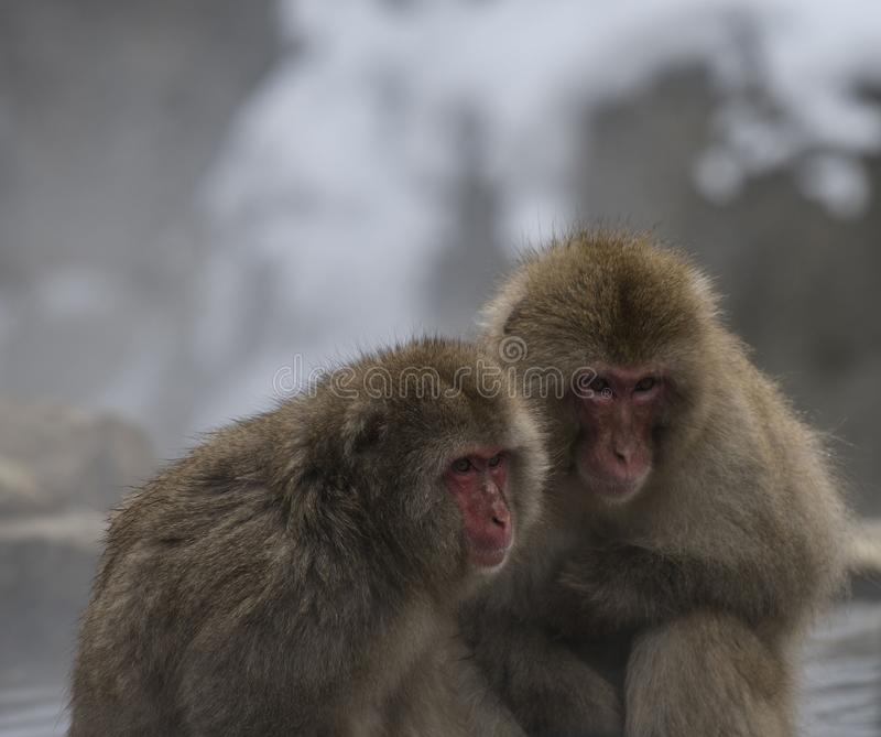 Two Japanese macaque or snow monkeys, Macaca fuscata, sitting on rock of hot spring. Both showing their red faces with big eyes. And looking right. Joshinetsu royalty free stock photos