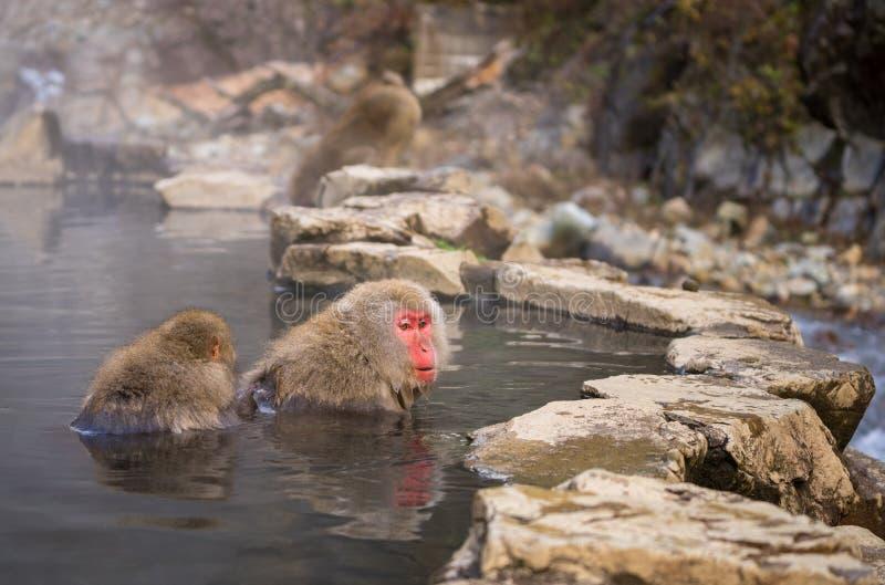 Two Japanese monkeys in Onsen at Jigokudani park. Japan royalty free stock images