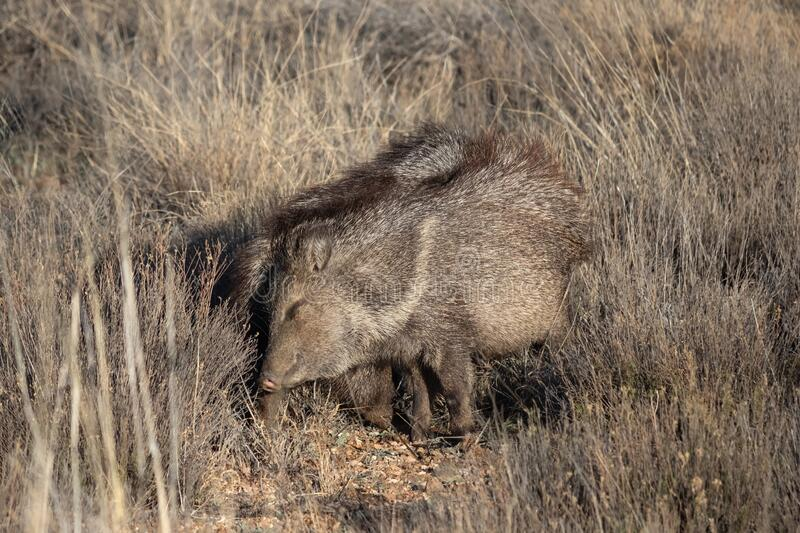 Javelinas rubbing each other stock photography