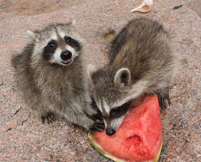 Two happy baby raccoons eating ripe watermelon. royalty free stock images