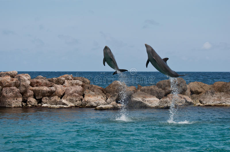Two Jumping Dolphins. In the Cariben stock photo
