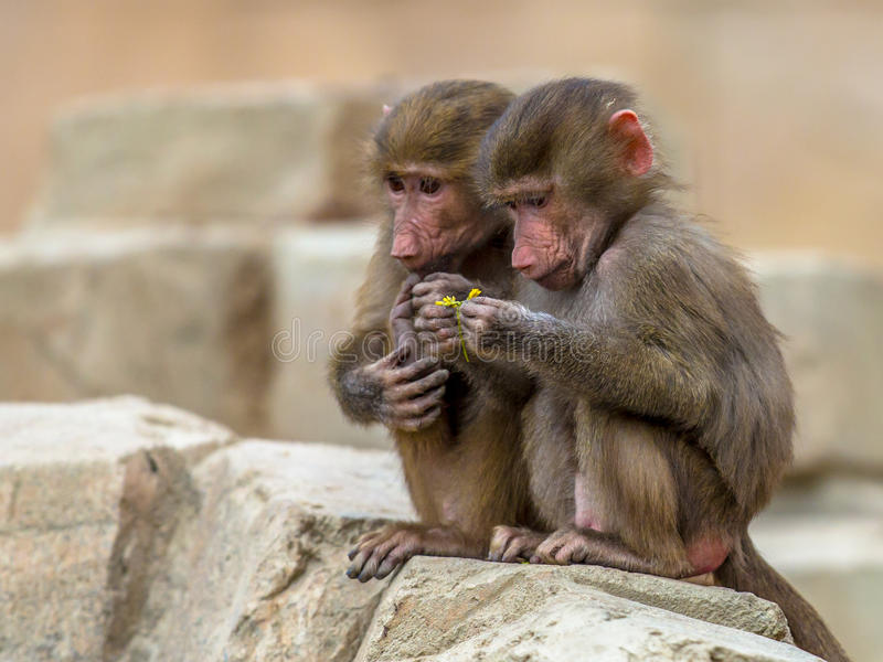 Two juvenile Hamadryas baboons stock images