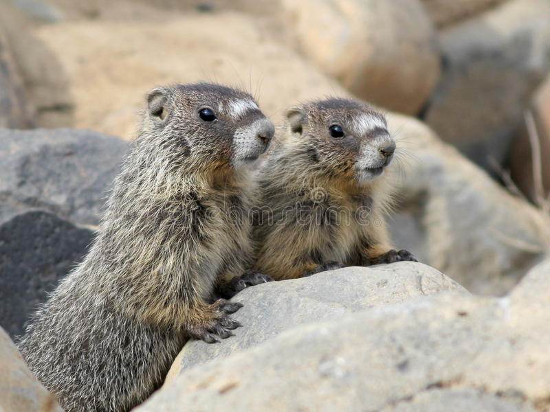 Download Two Juvenile Yellow-bellied Marmots Stock Image - Image: 40307745