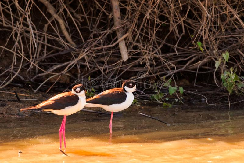 Two Of A Kind. A pair of Black -Necked Stilts wading in the water at Bald Knob Wildlife Refuge in Bald Knob, Arkansas 2017 royalty free stock photography