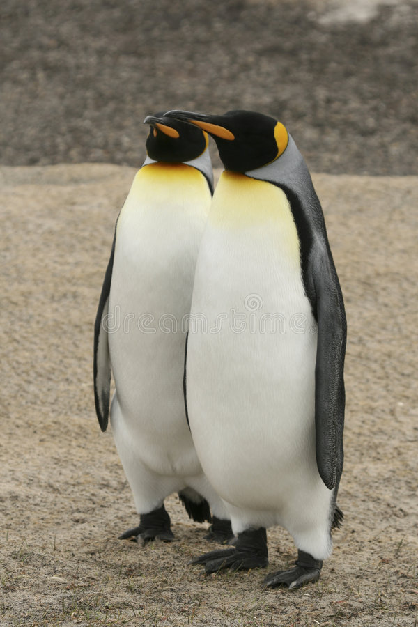 Two King Penguins royalty free stock images