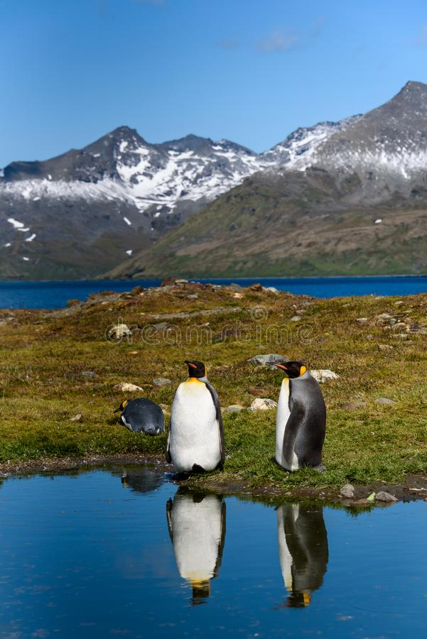 Two King Penguins standing on the edge of a calm pond, with reflections, sunny day, beautiful landscape of St. Andrews Bay, South royalty free stock image