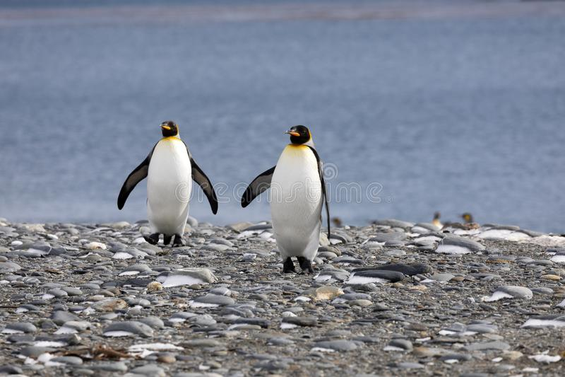 Two king penguins walk on the pebble beach on Salisbury Plain on South Georgia stock photos