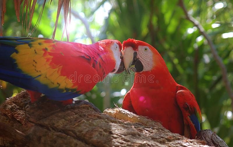 Two Kissing Macaw Parrots On A Branch stock photo
