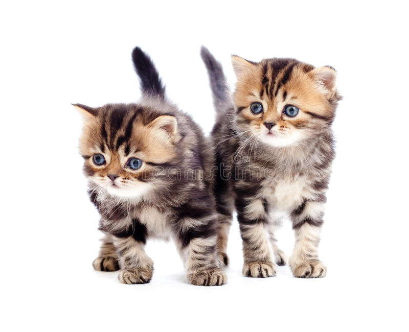 Download Two Kitten Pure Breed Striped British Isolated Stock Image - Image: 18359669