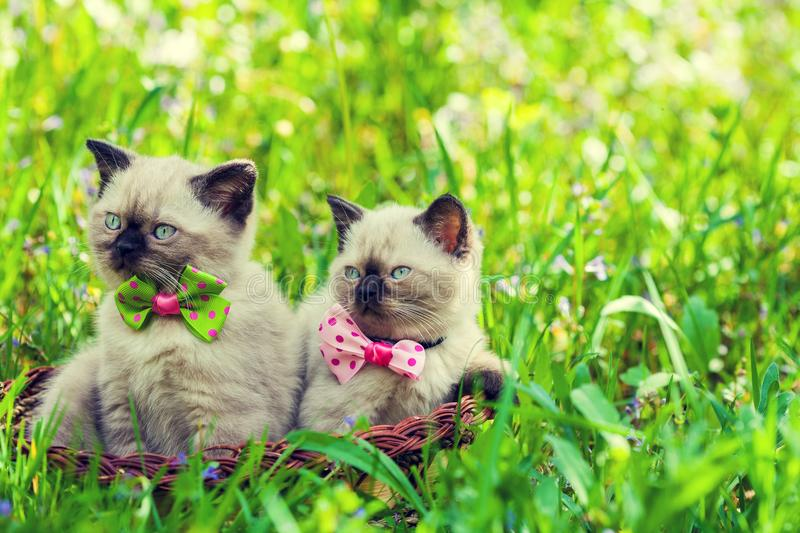 Two kittens with a bow tie on a green lawn royalty free stock image