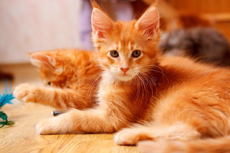 Two kittens of breed Maine Coon. One looks at the camera, another lifts his paw. Color of both cats: Red ticked.  stock photo
